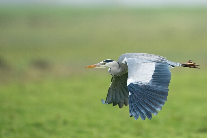 Heron photography wildlife nature river fishing holiday camera birds birdwatching